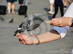 Dove eating on the hand of a lady in St. Mark& x27;s Square in Venice, in Veneto, Italy, Europe. For more images you can see my collection & x22; Venice, Italy, Europe& x22;.