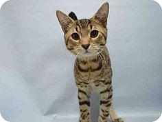 Brooklyn, NY - Egyptian Mau. Meet MARK, a cat for adoption. http://www.adoptapet.com/pet/17024177-brooklyn-new-york-cat