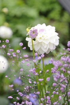 Dalia and Thalictrum hewitts double - LOVE combo and both
