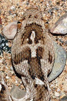 Echis carinatus--Saw-scaled viper