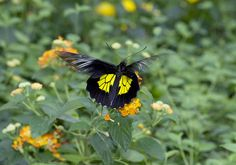 Butterfly in Bordano greenhouses (Troides Rhadamantus)