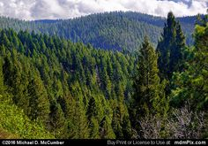 Endless Spruce Fir Forest in Sacramento Mountains Picture