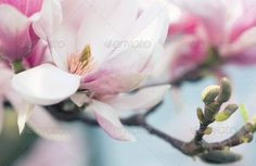 Realistic Graphic DOWNLOAD (.ai, .psd) :: http://sourcecodes.pro/pinterest-itmid-1007069622i.html ... Magnolia Flower ...  background, bouquet, bud, delicate, feminine, florist, flower, fragile, fresh, garden, growing, leaf, magnolia, nature, pink, plant, purple, red, sensual, soft, stem, tree, twig  ... Realistic Photo Graphic Print Obejct Business Web Elements Illustration Design Templates ... DOWNLOAD :: http://sourcecodes.pro/pinterest-itmid-1007069622i.html