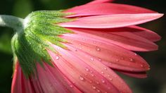 3840x2160 Wallpaper flower, petals, pink, macro, dew, drops