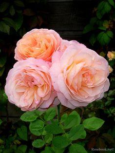 'Charles Austin®'   Shrub.  English Rose Collection. David C. H. Austin (United Kingdom, 1973).