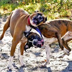 boxer - our girls did this while running as fast as they could go. Slobber flying.... Miss my girls.