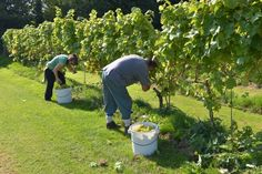 Oatley Vineyard, Somerset, UK: starting the Madeleine Angevine harvest 21 Sep 2014 . A beautiful harvest day after a wonderful warm, dry September.