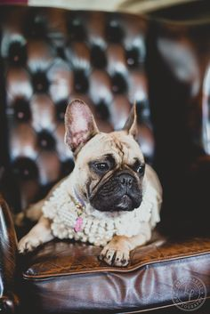 French Bulldog ❤🐾 at the wedding - Miss Mia Mischief