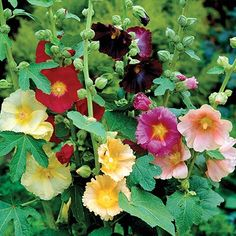 HOLLYHOCK--Fig 'Happy Lights'  a very lovely heritage flower love them on a fence border.  Butterfly favorite  great cut flower  The original species, called Antwerp Hollyhock, was yellow. I offer here a natural hybrid between this species and A. rosea. Yellow, copper, rose, red, burgundy-purple and white single saucer-shaped flowers bloom along the tall stems. A true perennia...