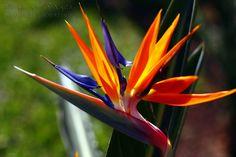 Flores do cerrado brasileiro - Bird of Paradise