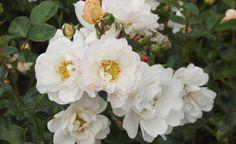 Rosen durch Stecklinge vermehren -  Die Veredlung von Rosen ist eine Vermehrungsmethode, die meist den Profis vorbehalten bleibt. Viele Rosensorten lassen sich aber auch ganz einfach durch Stecklinge vermehren. Hier lesen Sie, wie's geht.