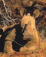Dearly precious but sadly endangered Rhino