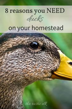 Ducks are an amazing addition to your homestead or backyard farm. From richer, larger eggs, to their awesome attitudes. Here are 8 great reasons you need to add ducks to your homestead this year! Backyard Ducks, Backyard Farming, Chickens Backyard, Backyard Poultry, Backyard Patio, Raising Ducks, Raising Chickens, Raising Quail, Keeping Ducks