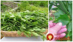 Ligurček alebo babičkino tajné korenie. Táto bylinka patrí do rodiny odolných bylín a korenín, ktoré sa pestujú jednoducho, s minimálnou starostlivosťou a ich využitie je skutočne všestranné.    Ligurček je známy aj ako rastlina mnohých chutí s