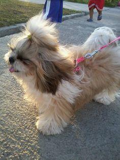 cute little Shih Tzu