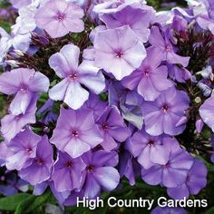 """Blue Paradise Garden Phlox - (for window/deck planter box) flowers that open light blue and darken to dark violet as they age, the color changes through the day. Long blooming & lightly fragrant, this variety also has good mildew resistance. Full sun is essential for best performance. Zones 4-8.  5"""" Premium Pot Compost Enriched Garden Loam"""