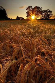 'You'll remember me when the West Wind blows on the fields of barley, we'll forget the Sun in his jealous sky among the fields of gold.' Fields of Gold Fields Of Gold, Esprit Country, Beautiful World, Beautiful Places, Beautiful Sunset, Simply Beautiful, Foto Online, All Nature, Belleza Natural