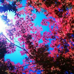 red leaves and blue sky