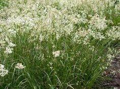 Luzula nivea is een opvallend sierlijk grasje. Bloeit wit in april mei en juni. Gaat prima samen met Sedum, witte Vinca, of Alchemilla. Verdraagt schaduwrijke plaatsen.