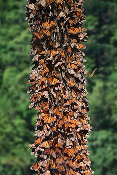 Angangueo, Mexico - During the Monarch migration.