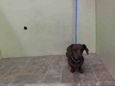 SUPER URGENT 7/19/14 Manhattan Center   DANTE - A1007086  *** DOH HOLD 7/19/14 ***  MALE, RED, DACHSHUND, 8 yrs STRAY - ONHOLDHERE, HOLD FOR DOHMULTIPL Reason STRAY  Intake condition NONE Intake Date 07/17/2014, From NY 10456, DueOut Date 07/20/2014, https://www.facebook.com/photo.php?fbid=839971392682408&set=a.617942388218644.1073741870.152876678058553&type=3&theater