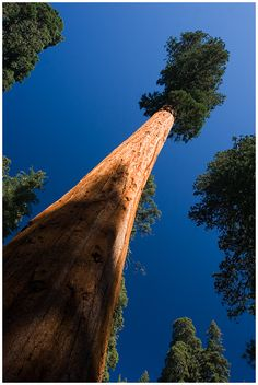 Looking up... Sequoia! <> (trees, treehouses)