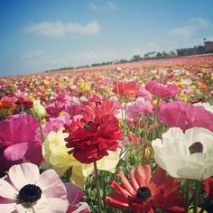 We love the flower fields at carlsbad.  Pic from Danni Hong