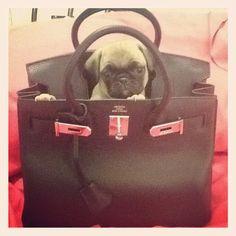Pug + Hermes Birkin bag = <3   @Rene Barkley