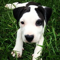 Cutest puppy ever!! #pitbulls ❤