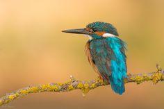 Blue beauty - http://jcfajardophotography.com/ Martin Pescador, Common Kingfisher, Alcedo atthis Mas imagenes en / More images in http://blog.jcfajardophotography.com/