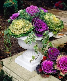Ornamental Cabbage in urn with ivy. As the temperatures grow colder, the cabbage turns a more vivid color!