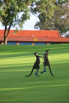 Lake Karrinyup Country Club Hole 9 Green Grass, Western Australia, Golf Clubs, Kangaroo, Wildlife, Characters, Cars, Country, Nature