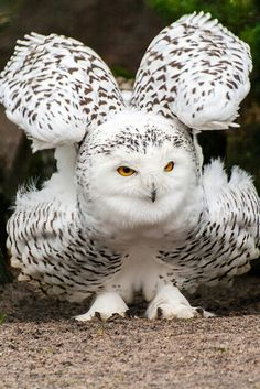 A fluffy and very feathery Snow Owl~