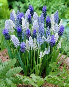 ムスカリ(学名: Muscari)丈夫で育てやすい秋植え球根多年草。開花3月~5月中旬。植えっぱなしでも毎年よく咲く。
