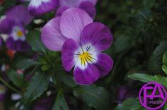 SG1L1856FAFGk Lila purple www.FeenArt.de Claudia Böttcher FeenArt Blumen Blüten Flowers Lila purple Green Grün Natur nature Frühling Spring