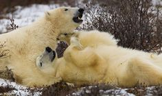 Polar bears cuddling on the coast at Seal River Heritage Lodge. Photo by author Daniel D'Auria.
