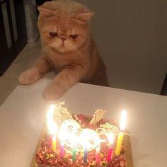 昨夜はXmasだからケーキを食べました。僕はダイエット中だからニンゲンだけだよ。 #Xmasちゃうわ #バースデーケーキやん #真剣なまなざし #mash1126a #マッシュのぺちゃんこライフ #cat #マッシュ #エキゾチックショートヘア #ねこ #ネコ #猫 #kitty #neko #猫部 #ねこ部 #ねこあつめ #にゃんだふるらいふ #猫莫迦 #catstagram #ExoticShorthair #catsofinstagram