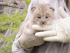 Iberian Lynx cub, YOUR FELLOW CALIFORNIAN FAITH XD