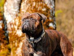 """Depuis 2009, le Danemark a pour projet de bannir de son territoire un certain nombre de """"races de chiens dangereuses"""". Pour cela, une liste de chiens dits…"""