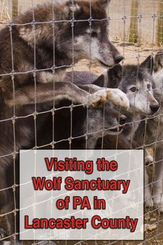 The Wolf Sanctuary of PA is a great destination in Lancaster County, Pennsylvania. Here you can see wolves up close and learn about the importance of preserving the species. Weekend Trips, Vacation Trips, Day Trips, Vacation Ideas, Dream Vacations, Lancaster Pennsylvania, Lancaster County, Pittsburg Pennsylvania, Pennsylvania Dutch Country