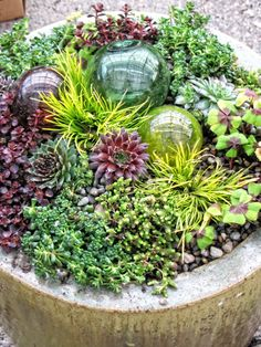 hens and chicks succulents | ... Container Gardening, Portland Oregon - Succulents With Glass Globes