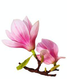 Blue Iris Flowers, Exotic Flowers, Beautiful Flowers, Flower Art Drawing, Floral Drawing, Magnolia Trees, Magnolia Flower, Australian Native Flowers, Rosa Pink