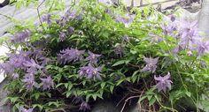 Вертикальные цветущие растения для сада