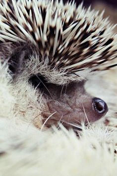 Hedgehog nose peeking out of quills! All Gods Creatures, Cute Creatures, Beautiful Creatures, Animals Beautiful, Animals And Pets, Baby Animals, Funny Animals, Cute Animals, Pygmy Hedgehog