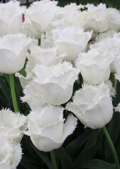 White fringed tulips by Jan Brider at the Chelsea Flower show