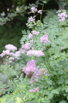 Meadow Rue is a beautiful and easy to grow perennial plant. Great with iris, clematis and peonies.