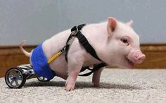 The Perfect World's photo: A little piglet born with hind legs he couldn't use was taken home by a compassionate veterinarian, Dr. Len Lucero, and his family fell in love at first sight... www.facebook.com/photo.php?fbid=627652973911596=a.134356946574537.23588.133188206691411=1_count=1=nf