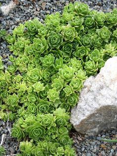 Orostachys malacophylla (Green Duncecap) is a small succulent plant with rosettes up to 6 inches (15 cm) across at maturity...