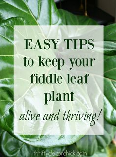 Easy tips for growing fiddle leaf plants