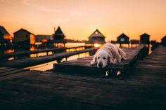 Golden Retriever slipping on a pier.  Grzegorz Bukalski Fotografia, Poland, Polska, dog, pies, pet, sunset, cute, puppy, photography, art